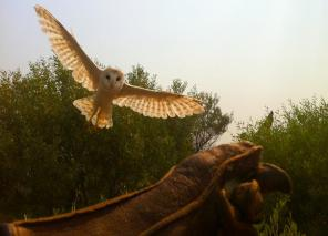 barn owl flying to glove copy